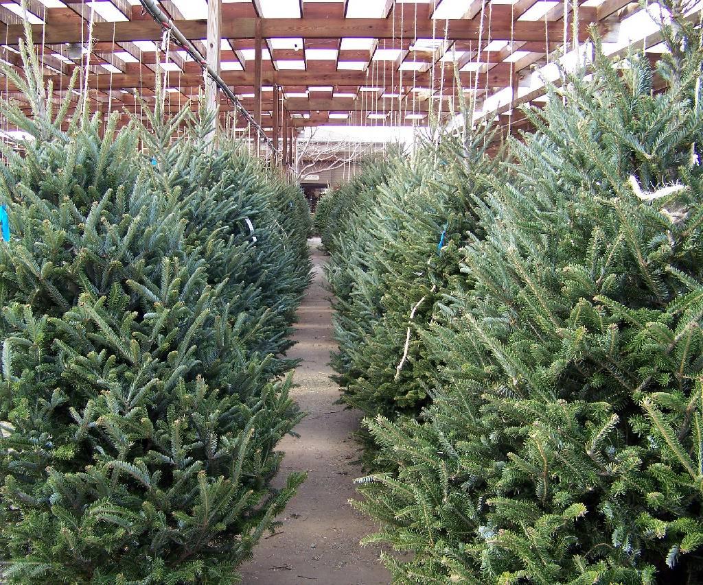 Živé vánoční stromky
