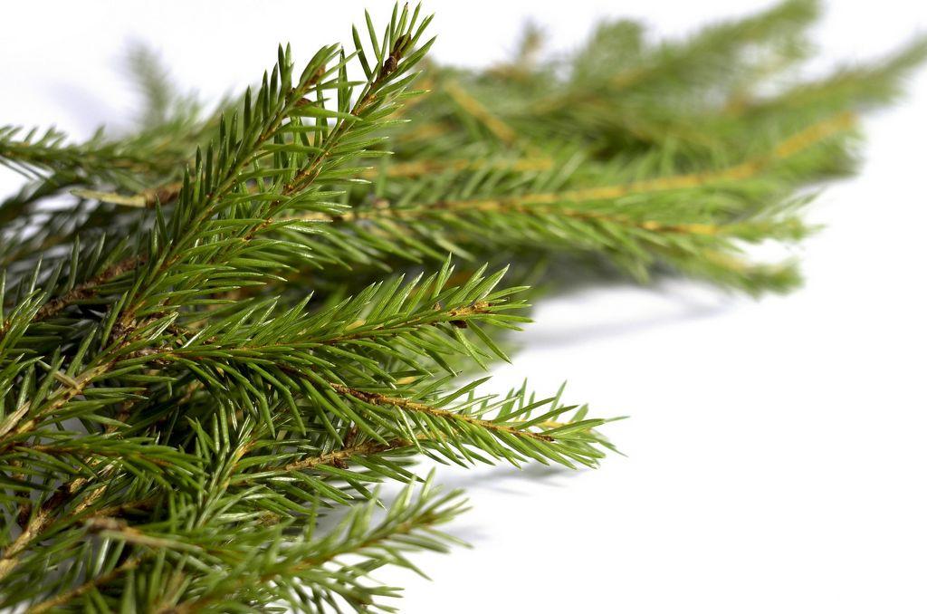 Větvičky jehličnatých stromů
