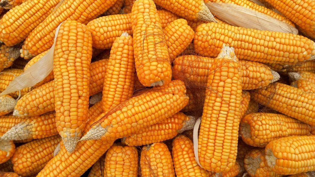 Mouka z kukuřice neobsahuje lepek